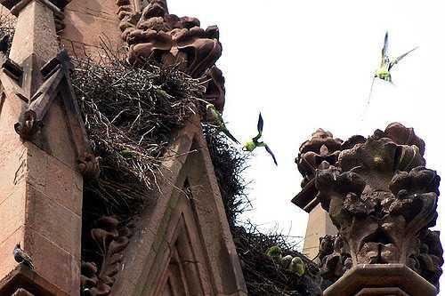 Brooklyn Parrots in Flight
