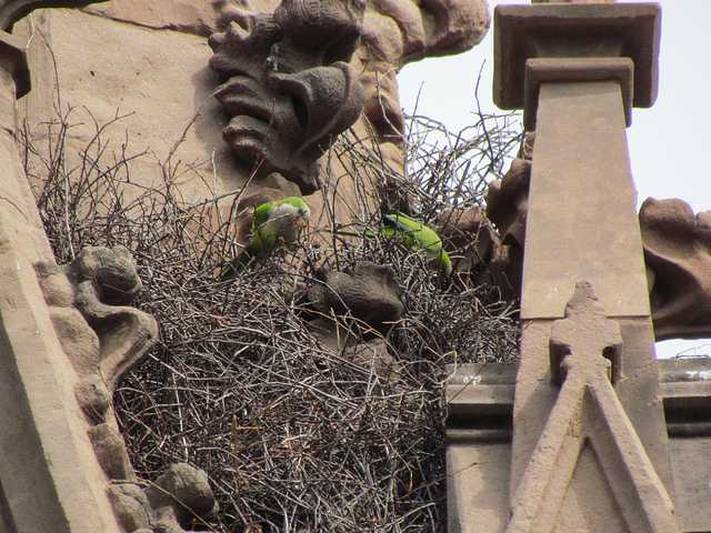 Brooklyn Parrots - Greenwood Cemetery