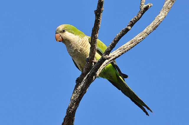 Brooklyn Parrots - Monk Parakeets