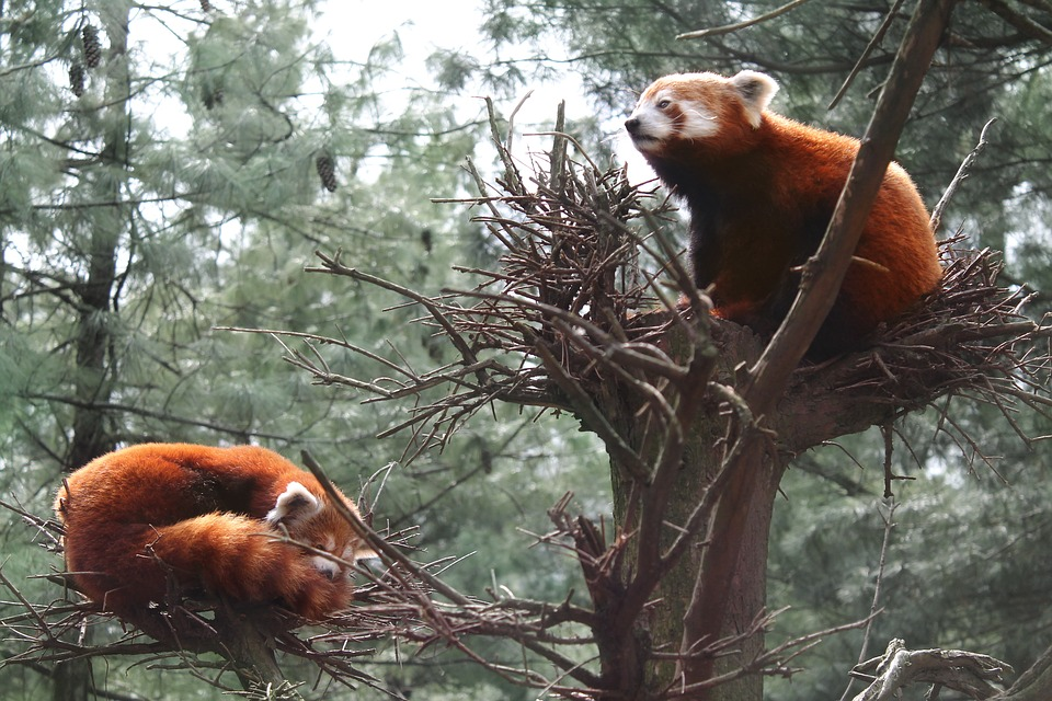 Red pandas in the Central Park Zoo