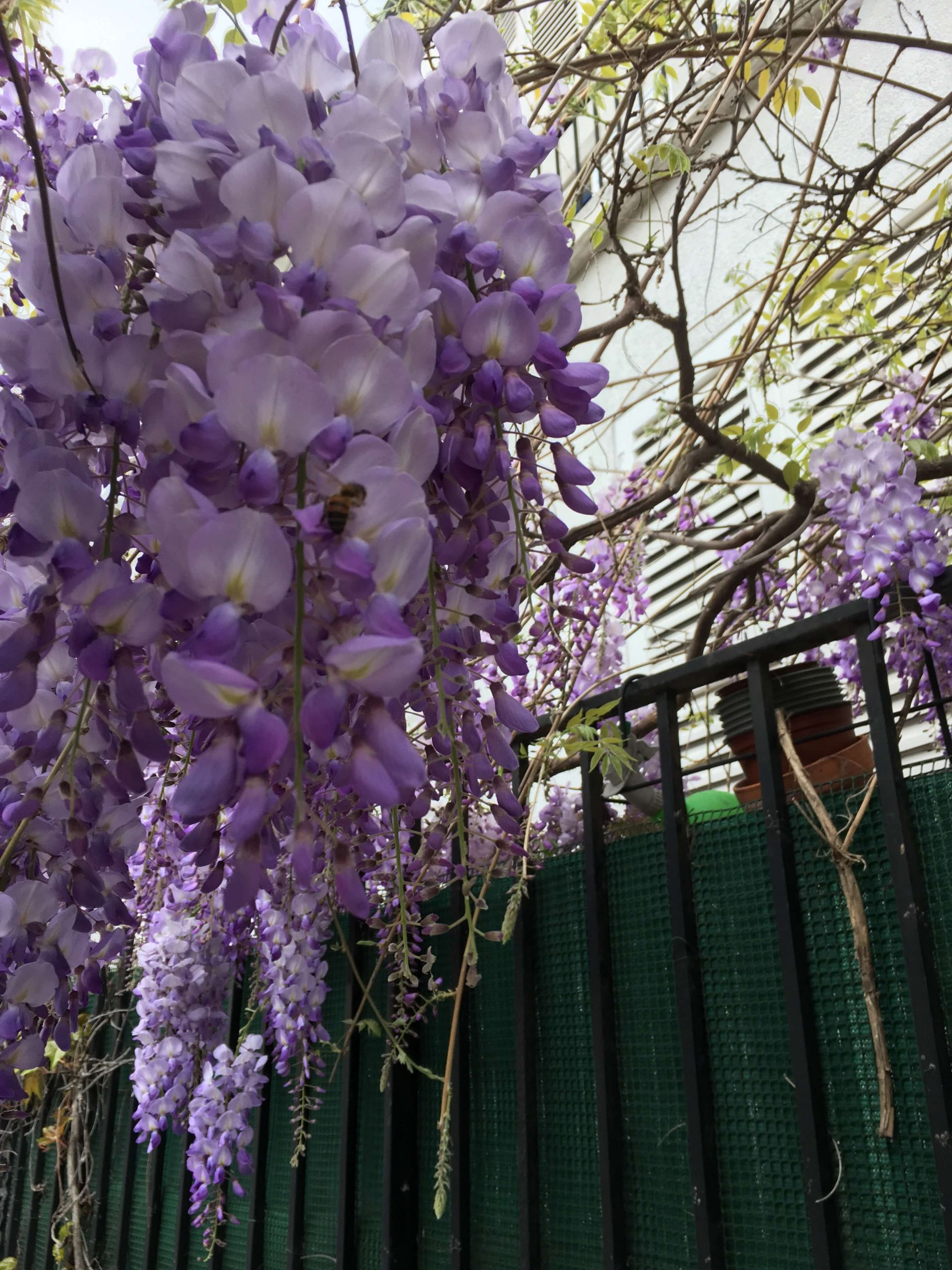 Blooming purple wisteria hanging in front of a fence in Montmartre in Paris