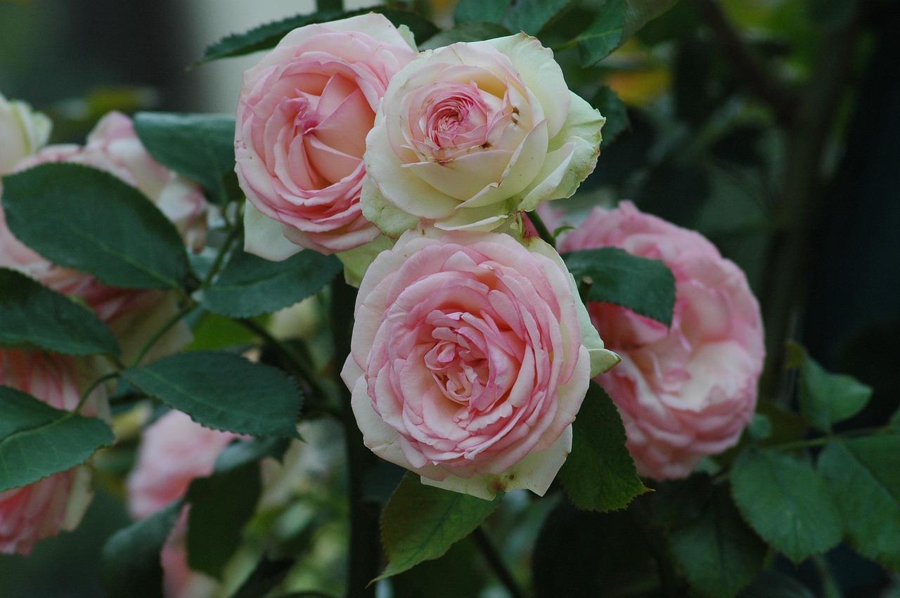 roses in bloom in Paris