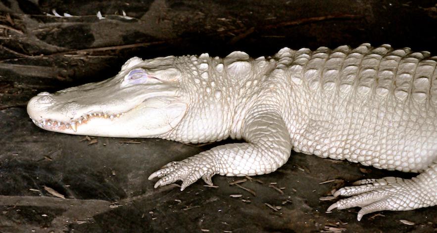 albino alligator in exhibit