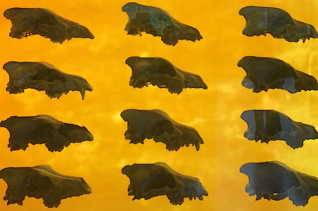 Display of dire wolf skulls in the Page Museum at La Brea Tar Pits