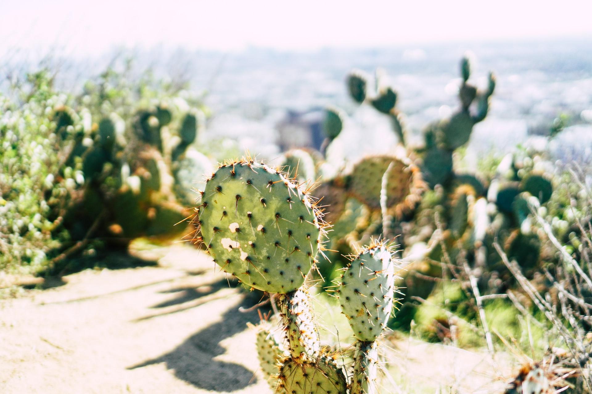cactus at Runyon Canyon