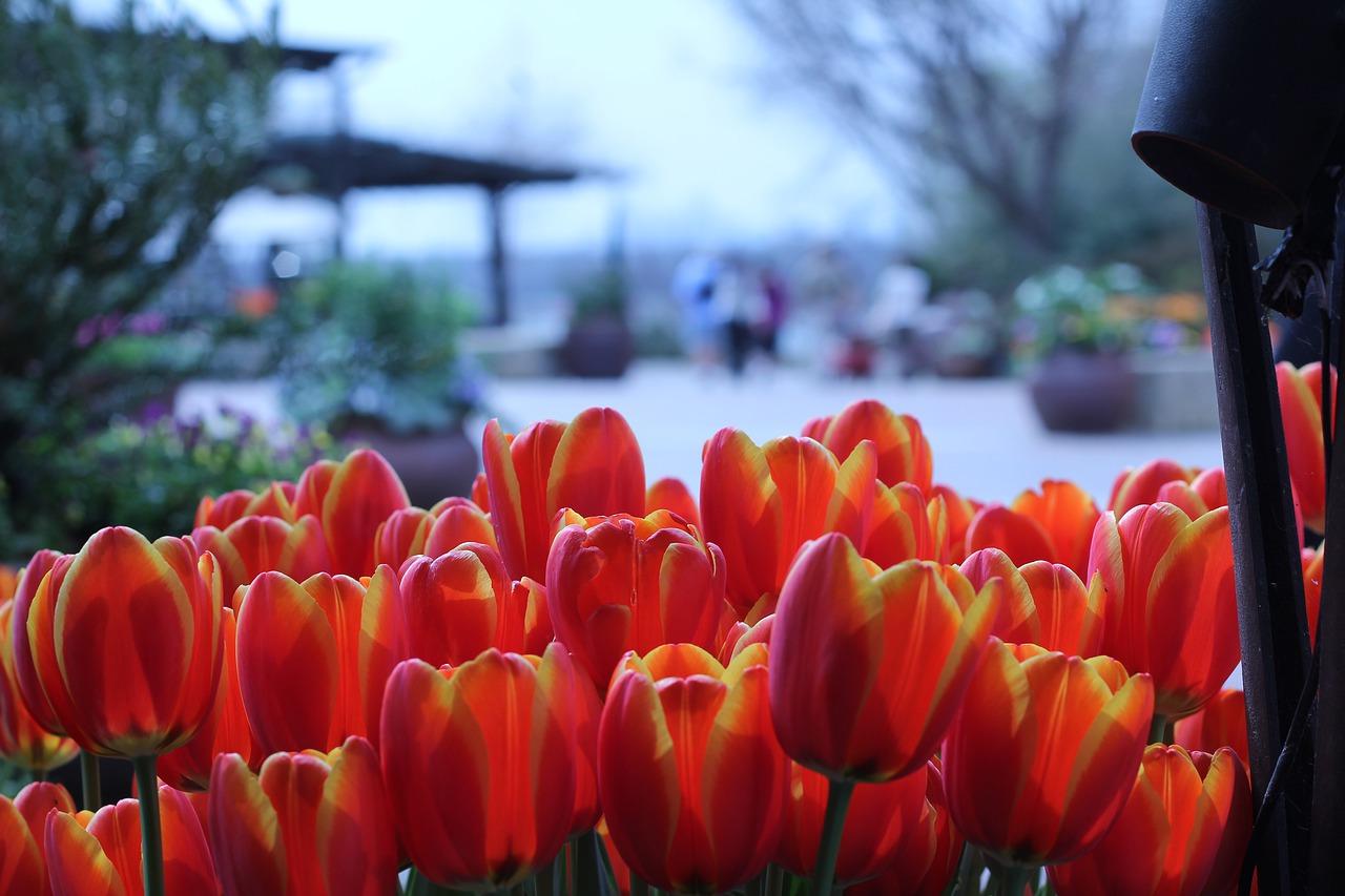 Tulips at Dallas Arboretum and Botanical Garden