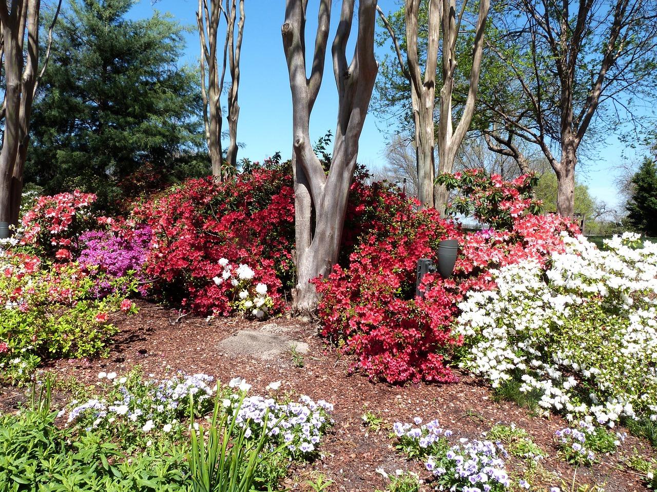 azaleas in bloom on a Dallas Arboretum and Botanical Garden day trip