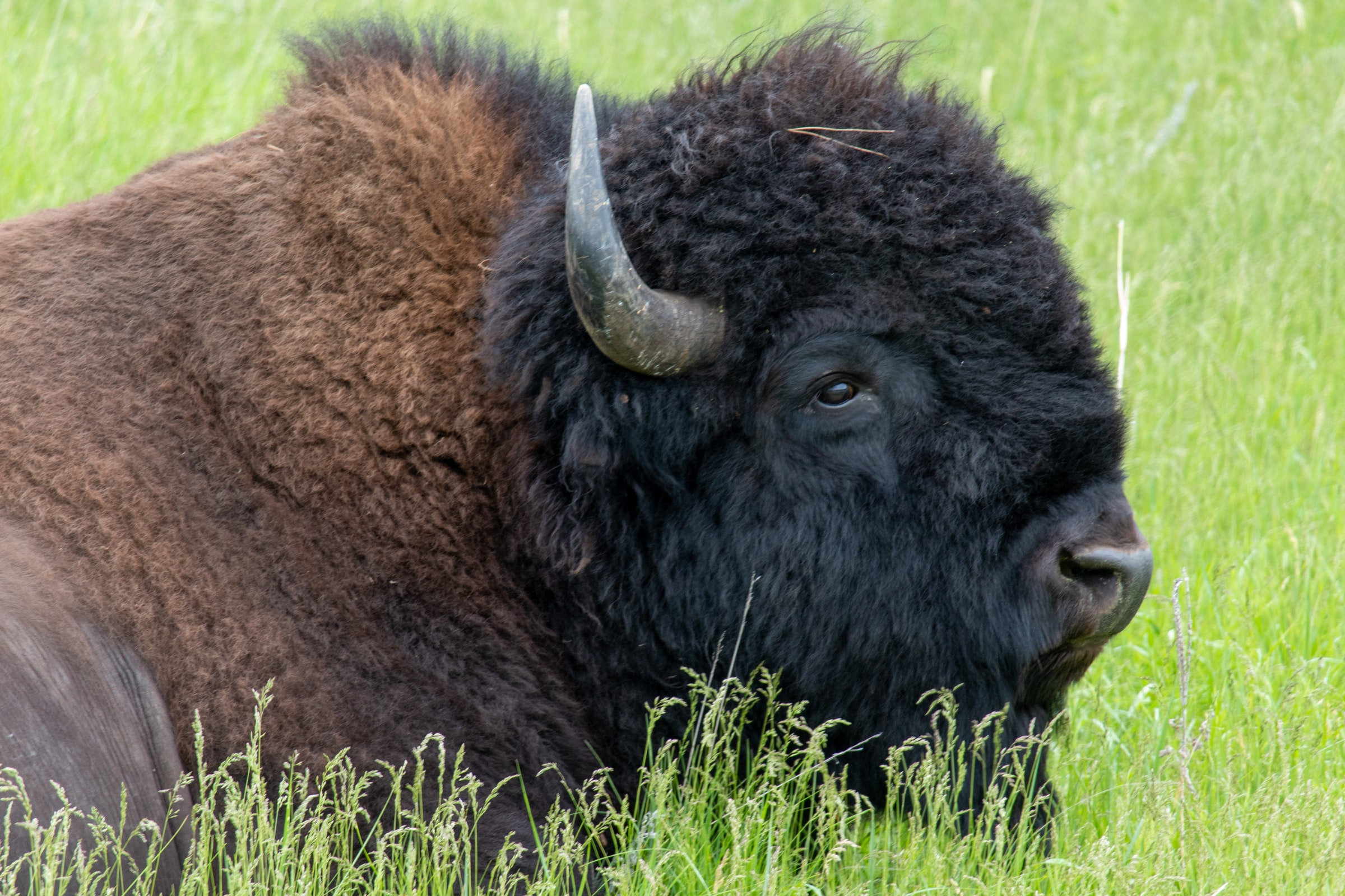 a bison laying in the grass
