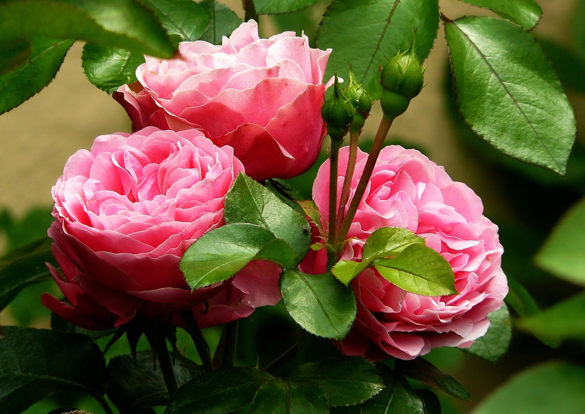 three roses in rose cluster in a garden