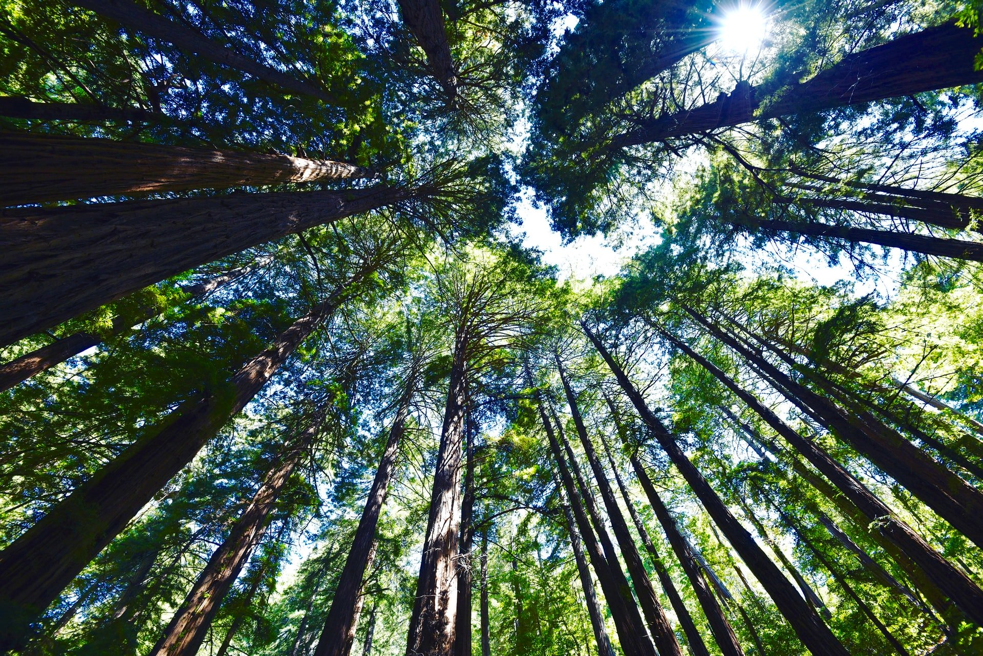 Looking upward at tall redwoods in Muir Woods