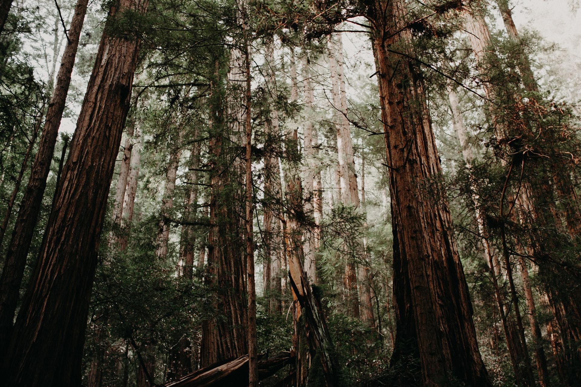 Redwood trees growing tall in Muir Woods near SF