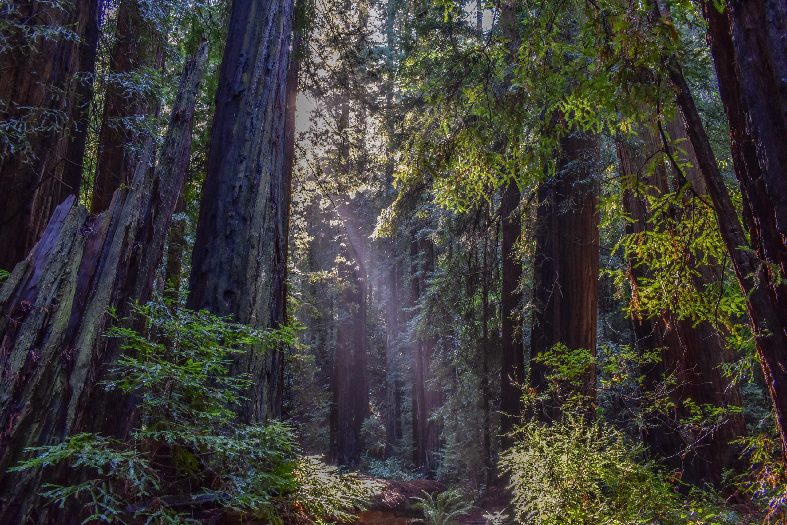 Sunlight filtering through the trees of Muir Woods